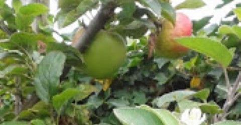 KOLLUM – Bij de fam. Bruinja aan de Hammeren 32 in Kollum staat achter in de tuin een kleine laagstam appelboom die in het voorjaar, zoals gebruikelijk, uitgebreid heeft gebloeid. […]