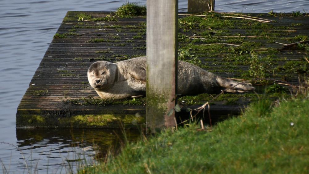 Photo of Zeehond gespot bij de Zwemmer Westergeest